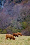 3_highlandcows