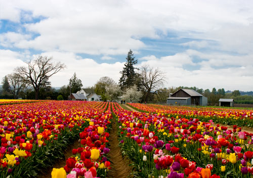 TULIPS_farmhouse