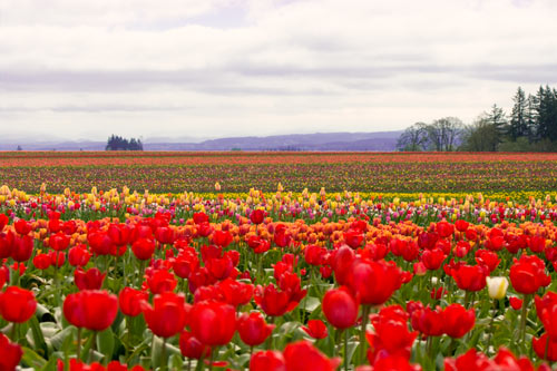 TULIPS_cloudyfield