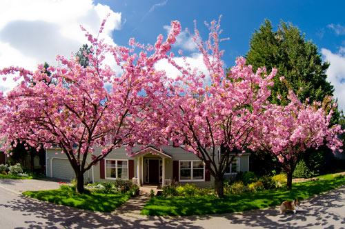 CherryBlossomHouse