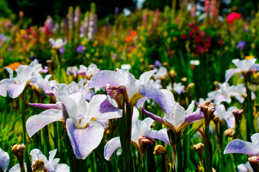 2japaneseiris