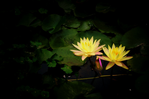 Waterlily_lightbulbs
