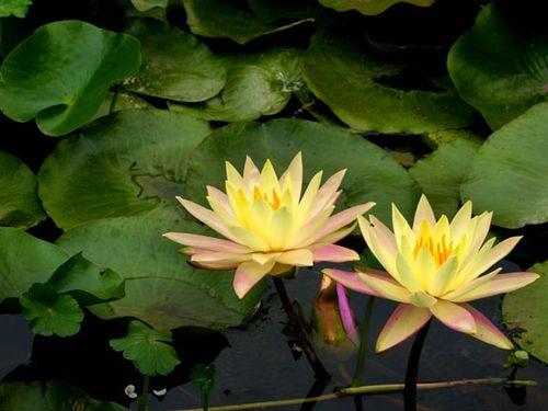 Waterlilys